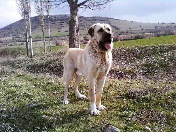 Aksaray malaklisi dog breed standing on the hill