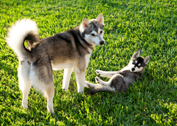 Alaskan Klee Kai adult and a puppy