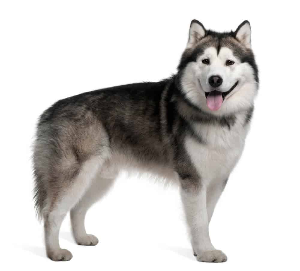 Alaskan Malamute on white background