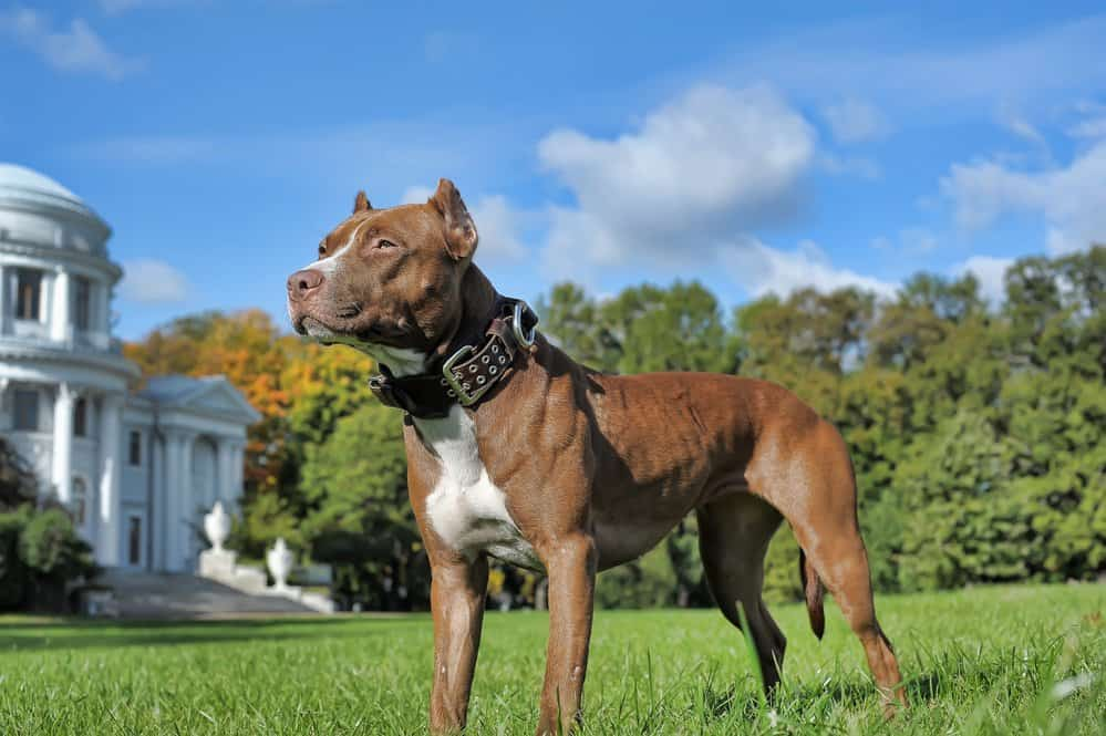 Alert pit bull dog on the lawn