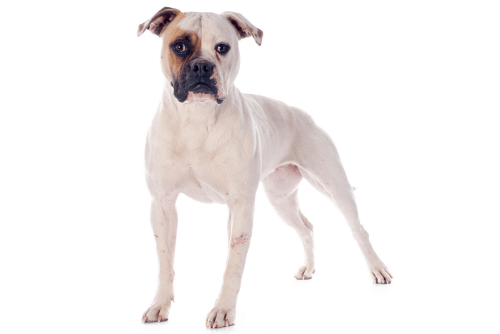 American Bulldog standing against a white background