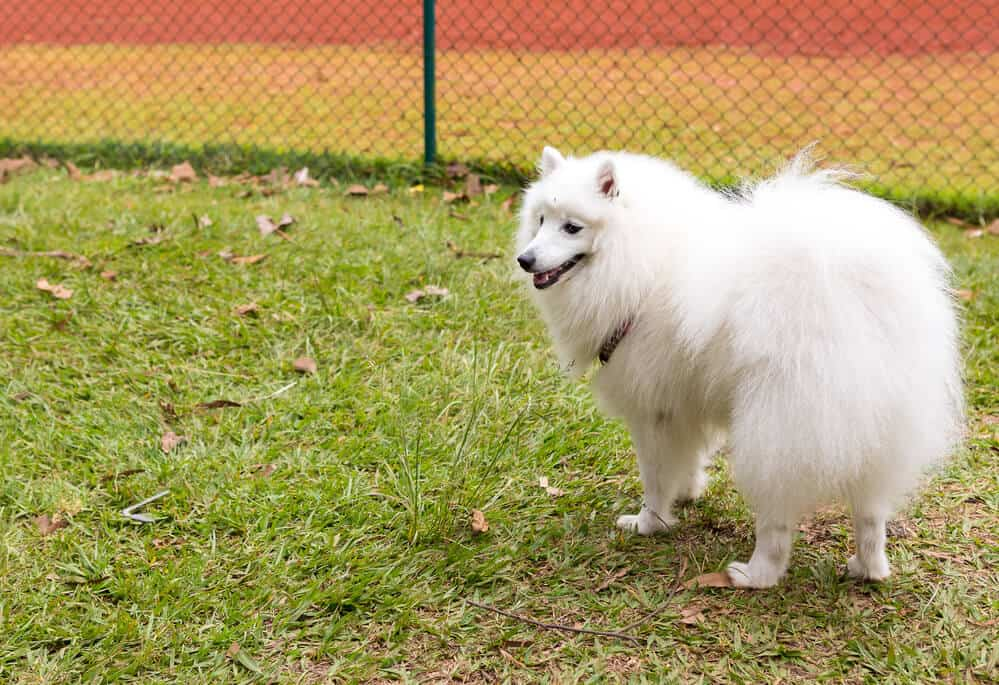 American Eskimo a.k.a. German Spitz dog breed standing on the lawn and looking to the left