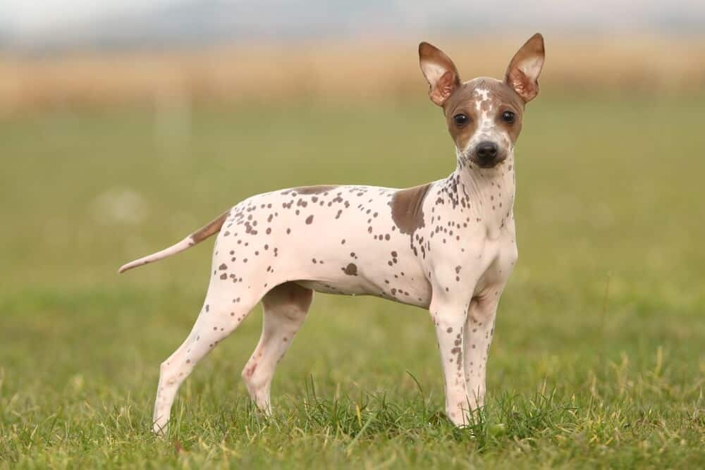 American Hairless Terrier puppy standing on the lawn