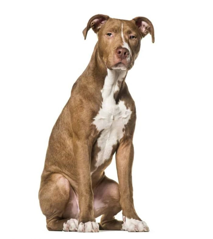 American Pit Bull Terrier on white background