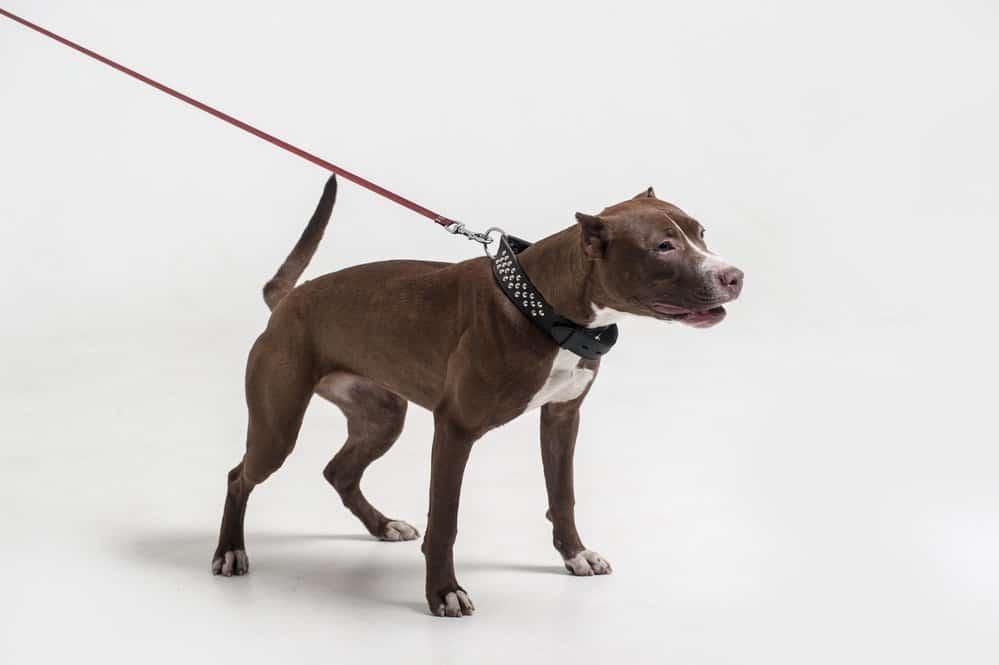American Pit Bull terrier with leash on white background