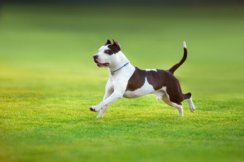American Pit bull Terrier running on the lawn
