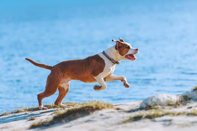 American Staffordshire Terrier running on the beach sand