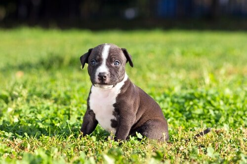 American Staffordshire terrier puppy on a green grass