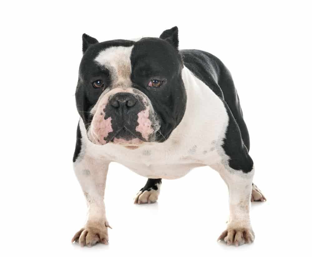 American bully photographed on white background