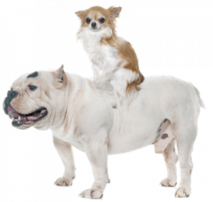 American bully with a chihuahua riding on his back
