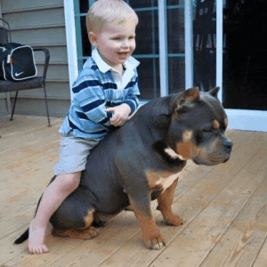 American bully with a young boy riding on its back on a wooden floor