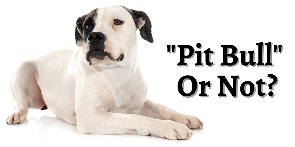 Are American Bulldogs Pit bulls featured image