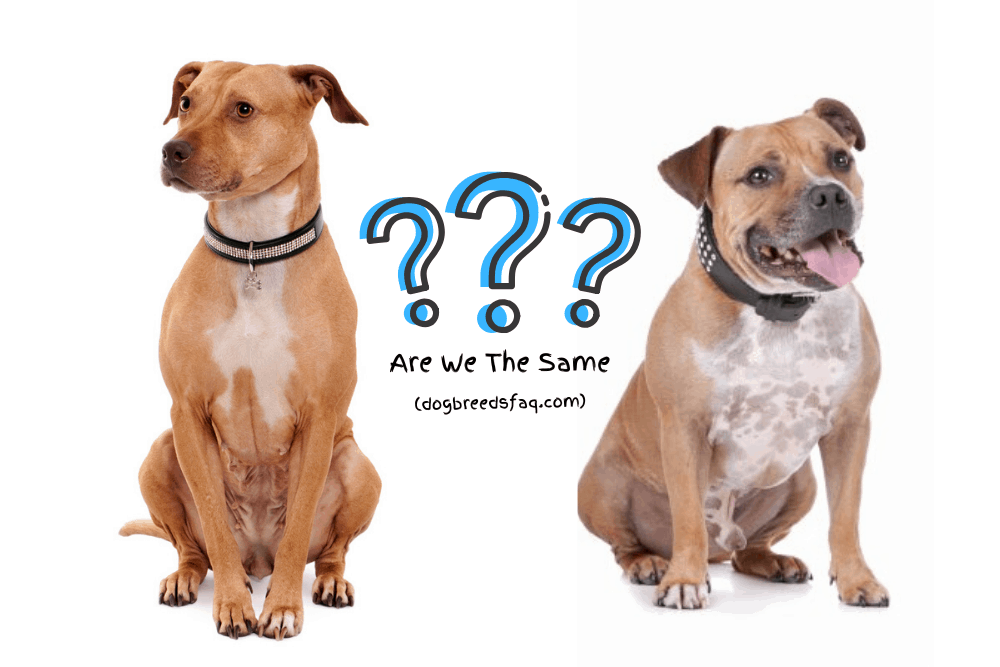 Are Pit Bulls & Staffies The Same Image