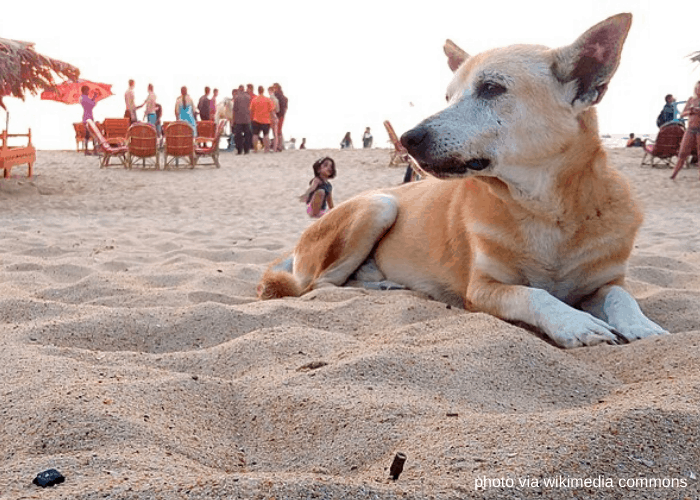 Askal dog breed lying in the beach sand