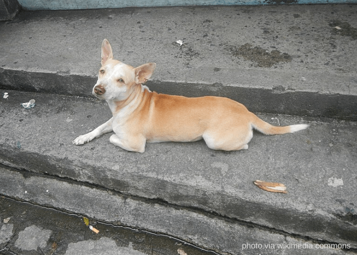 Askal dog lying on a cemented ground from Quezon City, Philiippines