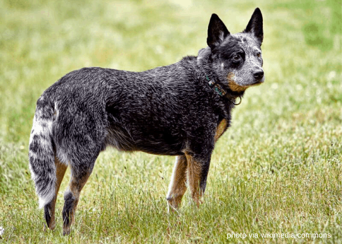 Australian Cattle Dog in the field