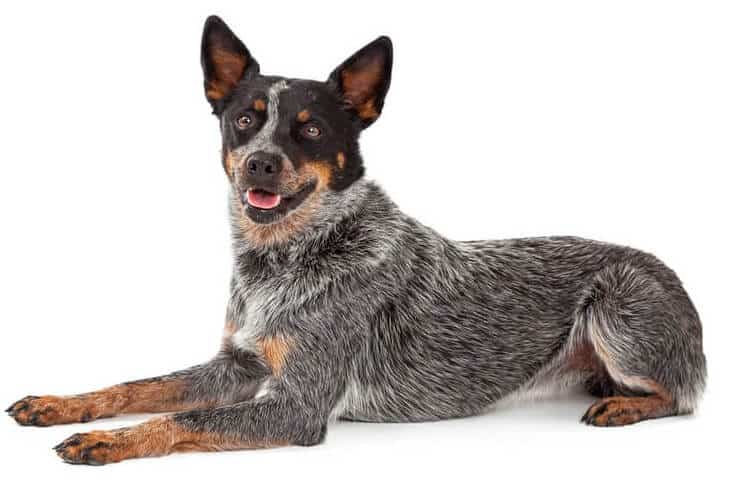 Australian Cattle Dog on lying white background