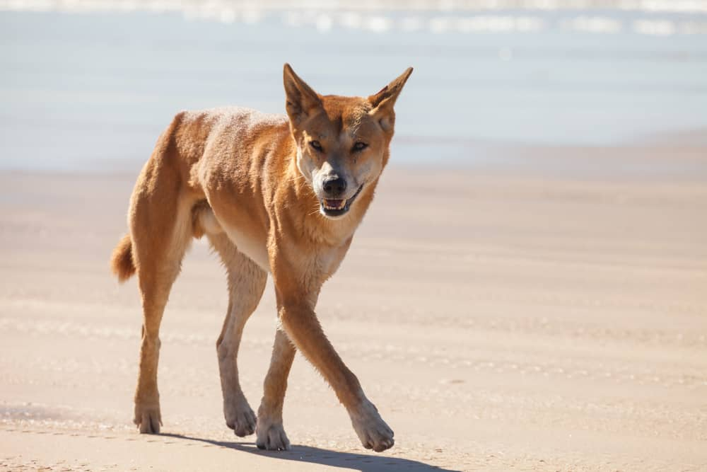Australian Dingo walking on a beach