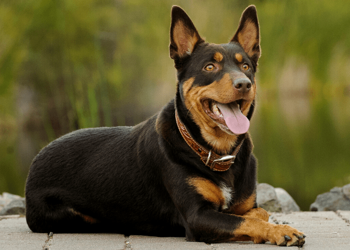 Australian Kelpie dog with brown collar lying on a dock