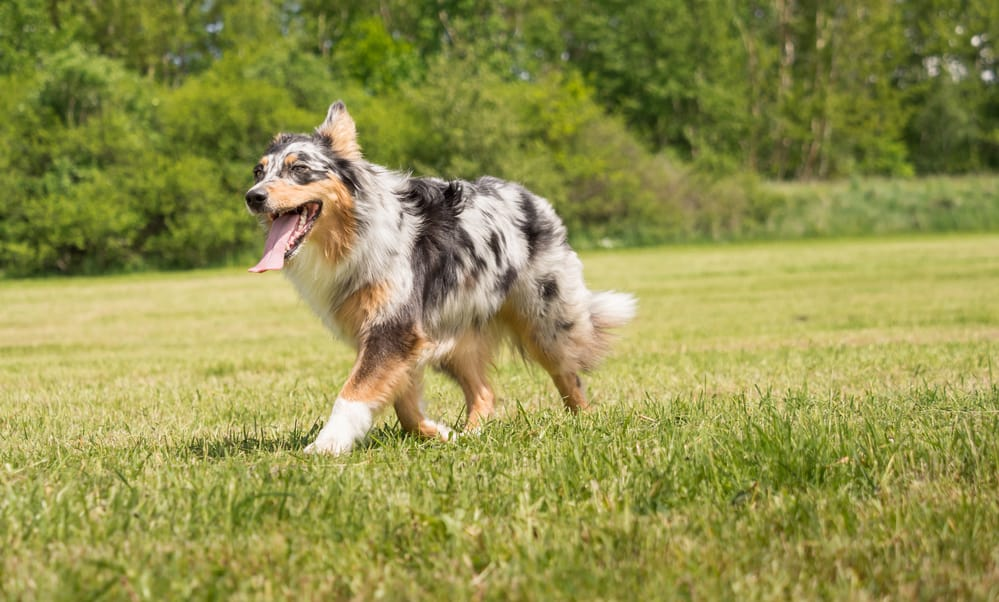 A beautiful Australian Shepherd plays outside in the meadow