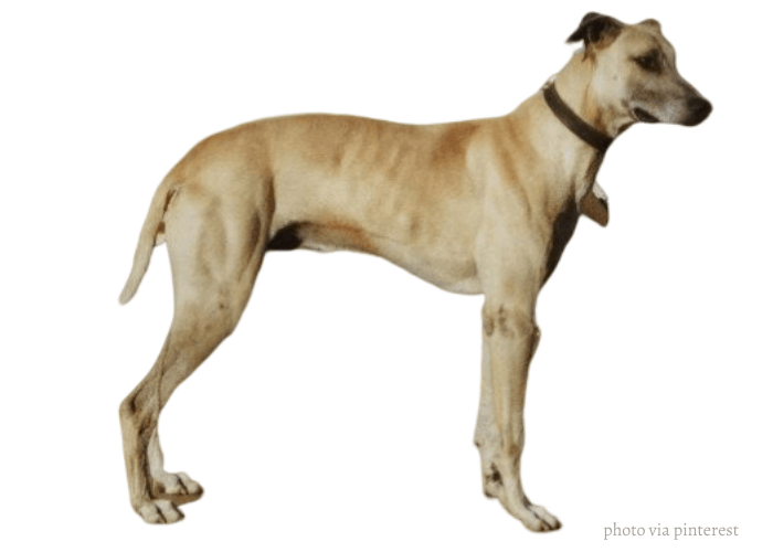 Australian Staghound standing in front of white background