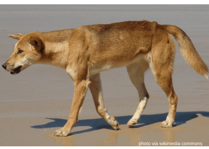 Australian dingo standing in the beach