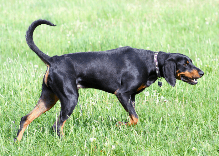 Austrian Black and Tan Hound at the park