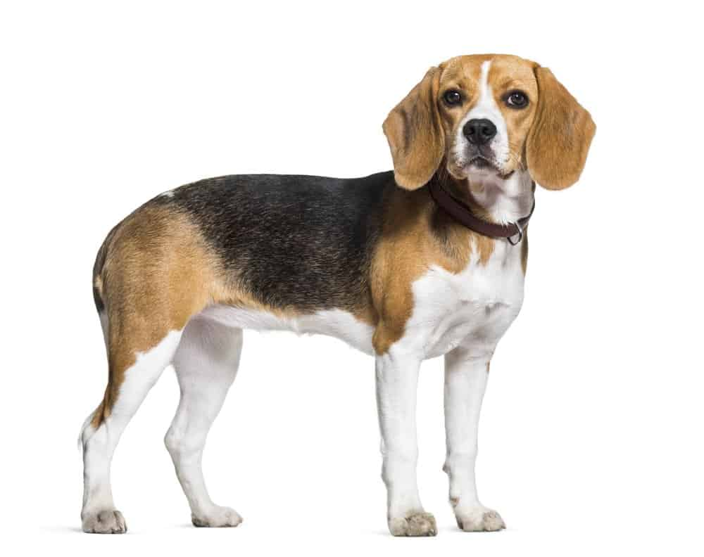 Beagle dog standing against a white background