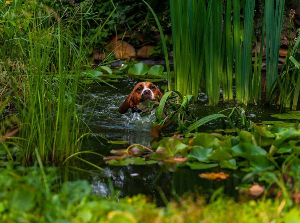 Beagle dog swimming and crossing a pond