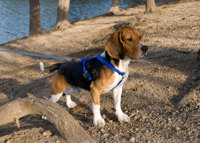 Beagle on leash standing near the lake