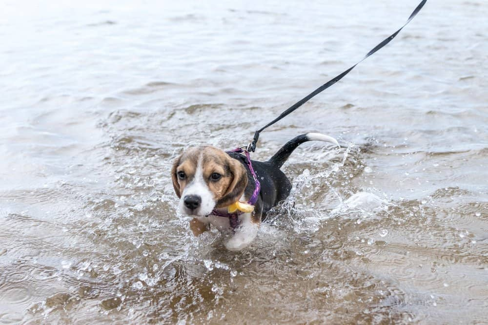 Beagle puppy swimmimng for the first time