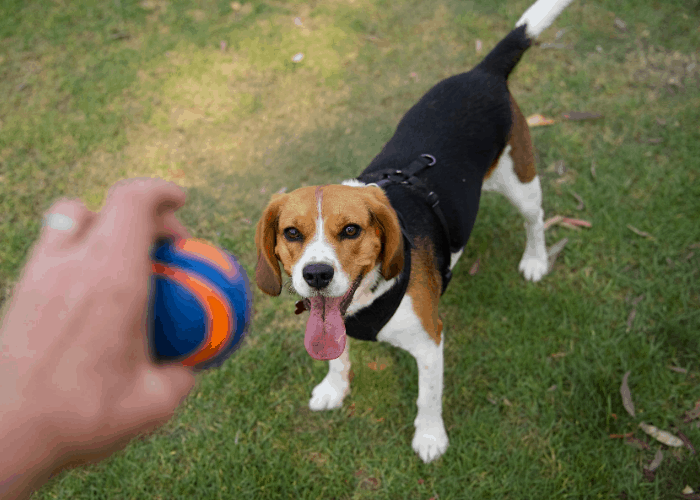 Beaglier playing fetch with owner