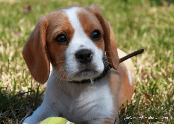 Beaglier puppy playing with the tennis ball on the lawn