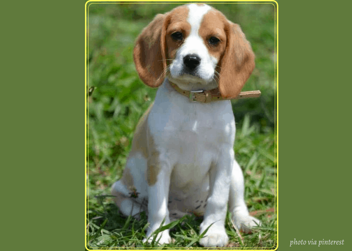 Beaglier puppy with yellow frame on green background