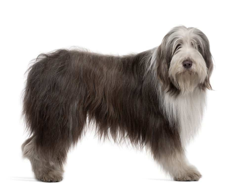 Bearded Collie on white background