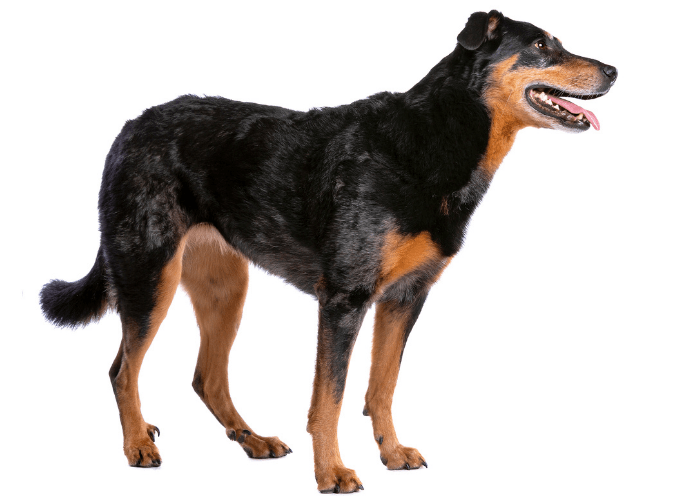 Beauceron standing on white background and looking to its left