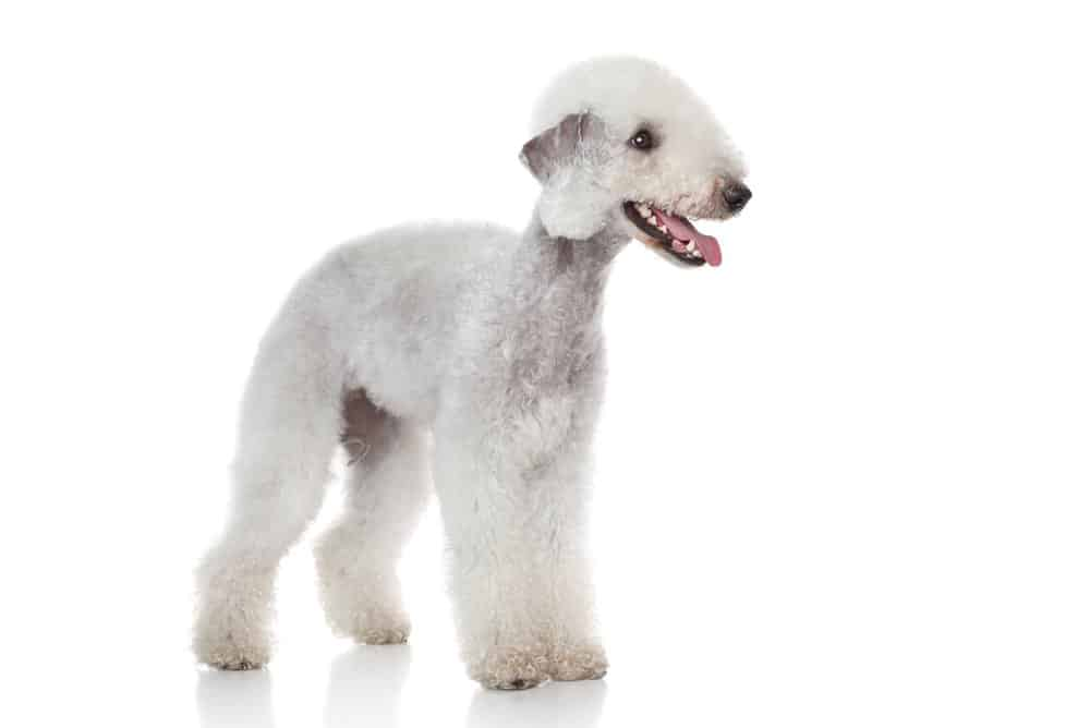 Bedlington terrier on white background