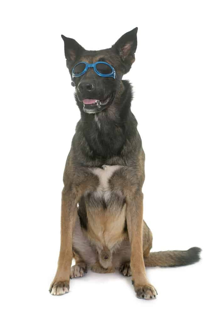 belgian malinois with goggles on white background