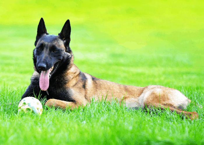 Belgian malinois playing a dog toy at the park lawn