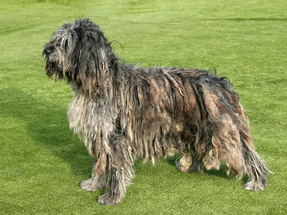 Bergamasco sheepdog standing in the park