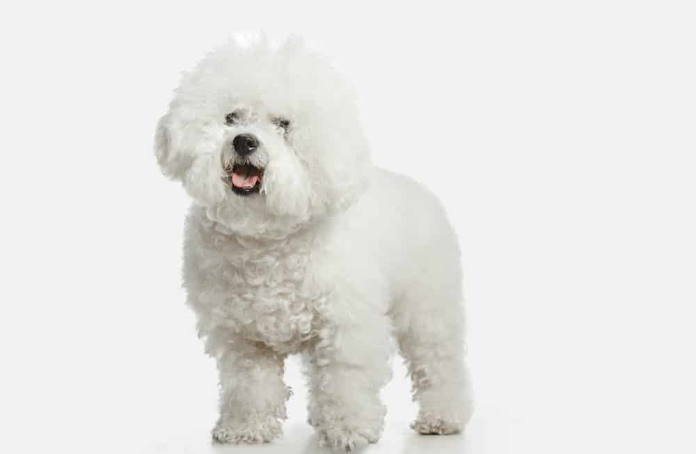 Bichon Frise dog breed on white background