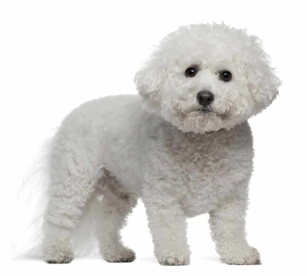 Bichon Frise, standing on white background
