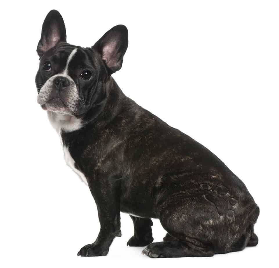 Black French Bulldog sitting on white background.jpg