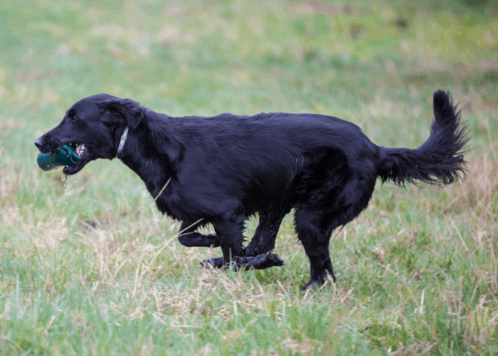 Black Golden Retriever retrieving a toy