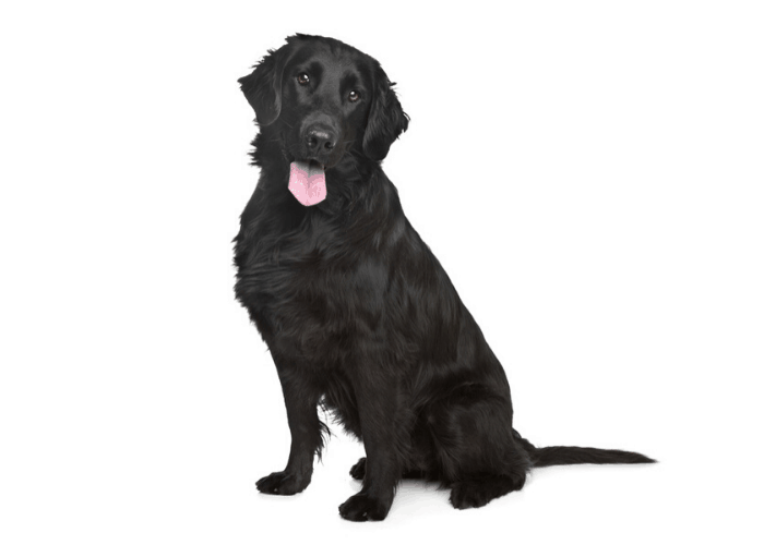 Black Golden Retriever sitting on a white background