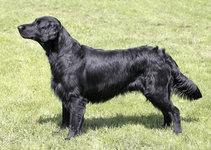 Black Golden Retriever standing on the lawn