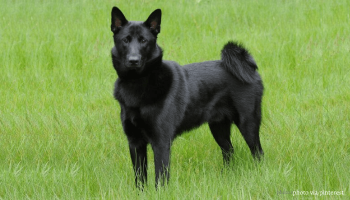 Black Norwegian Elkhound standing on the lawn