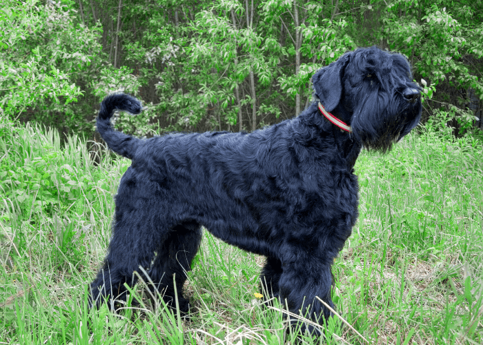 Black Russian Terrier in the forest
