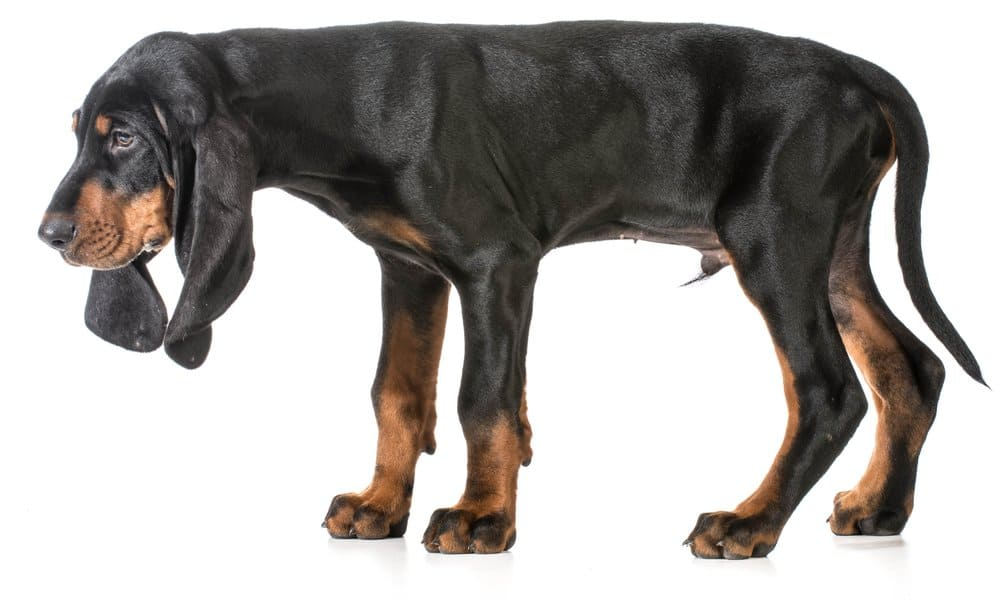 black and tan coonhound on white background