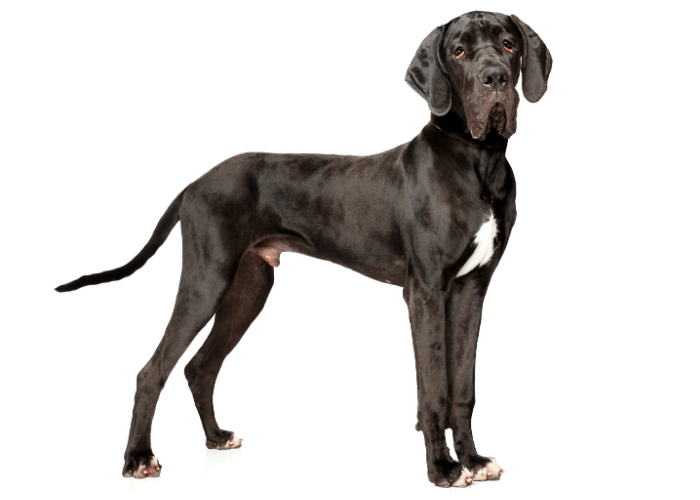 Black great dane standing on white background